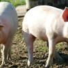 Afrykański pomór świń w Parowej