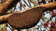 Straż, a roje os, szerszeni i pszczół