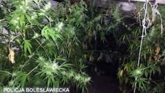 Zlikwidowana uprawa marihuany